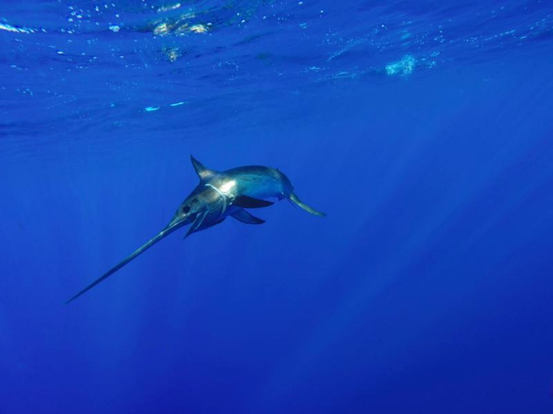image_swordfish_Shutterstock_464482394_JoeFishFlynn.jpg
