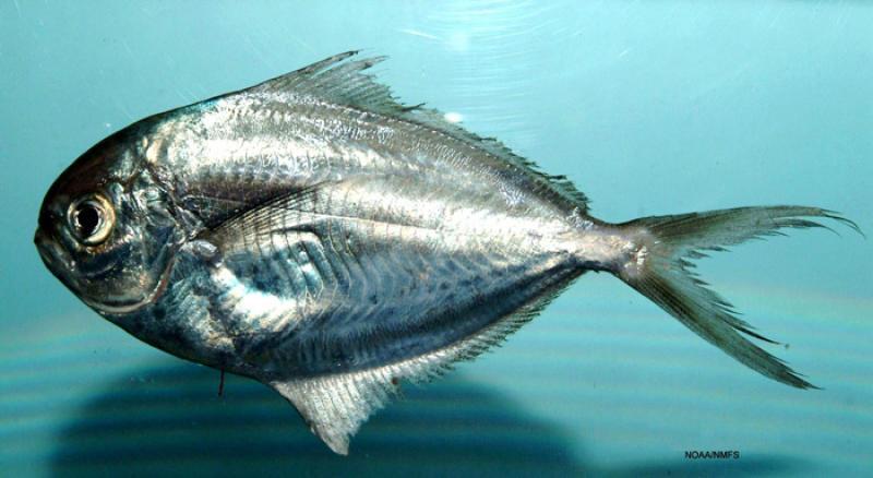img01_butterfish.jpg