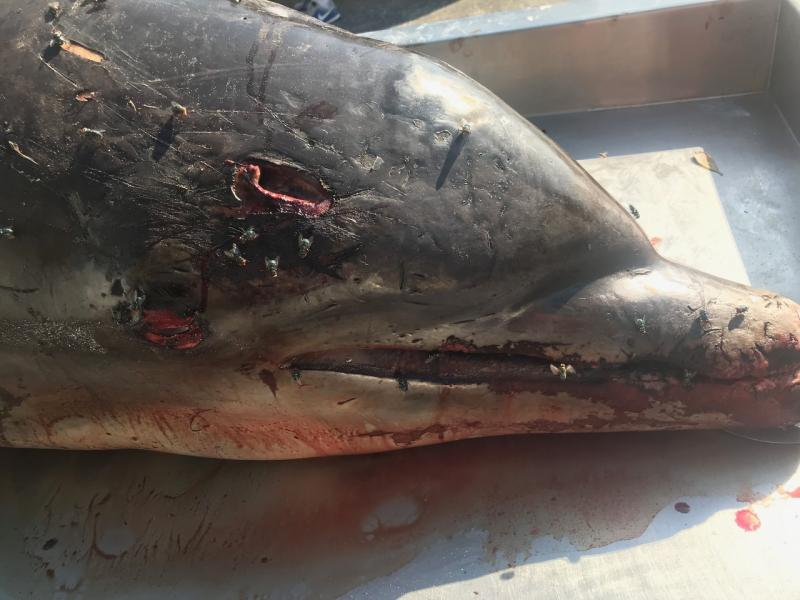Impaled Dolphin_2019_Photo credit FWC.jpg