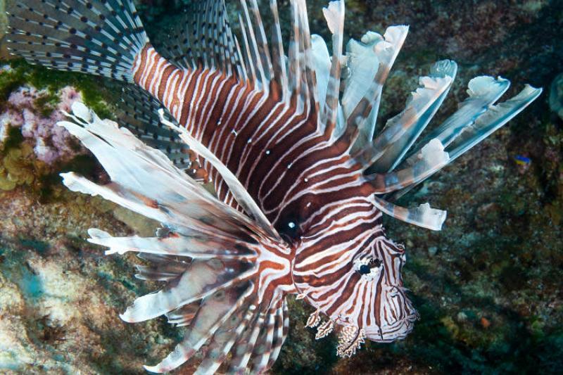 invasive-lionfish-noaa-sanctuaries.jpg