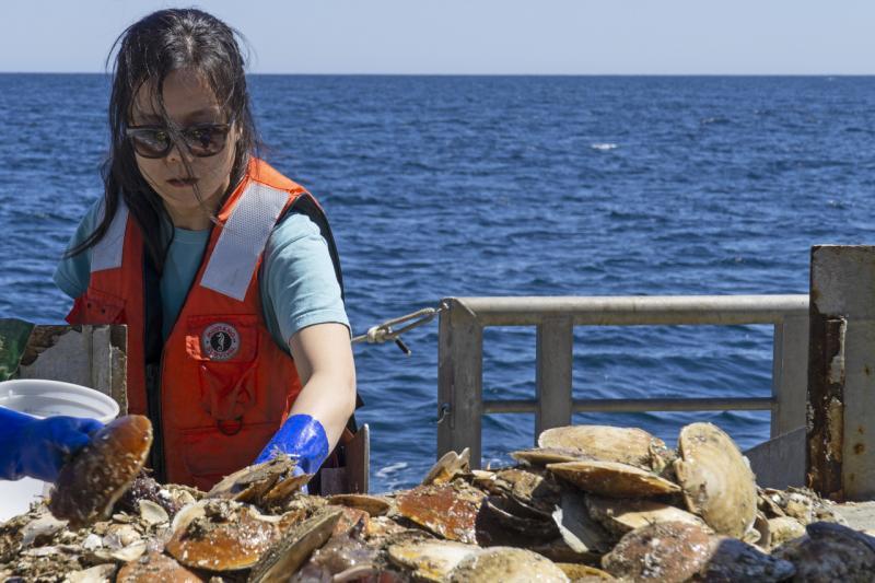 Jui-Han, NOAA Fisheries Biologist sorts scallops during 2016 scallop survey.