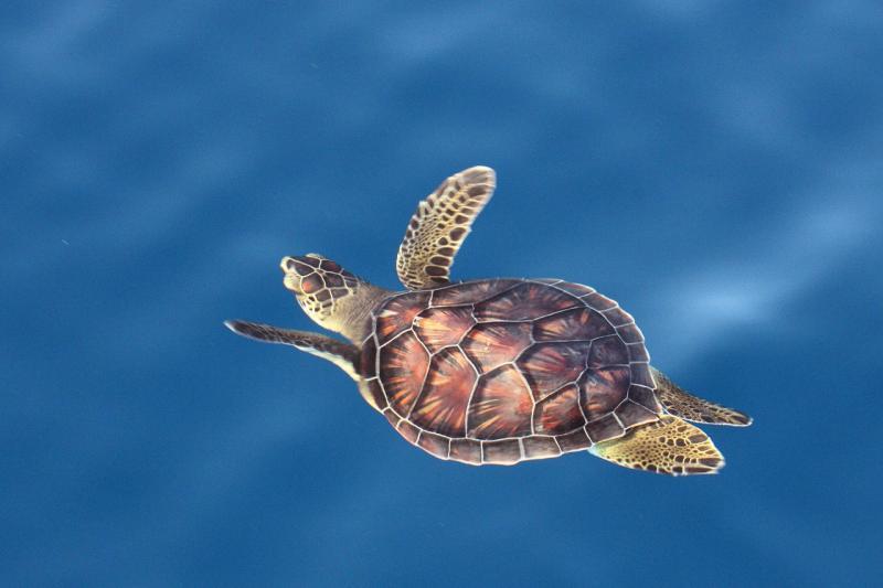 juvenile-green-turtle-swimming-in-open-ocean.jpg