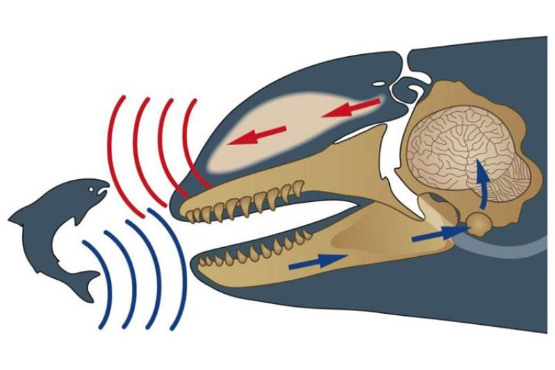 killer-whale-echolocation.jpg
