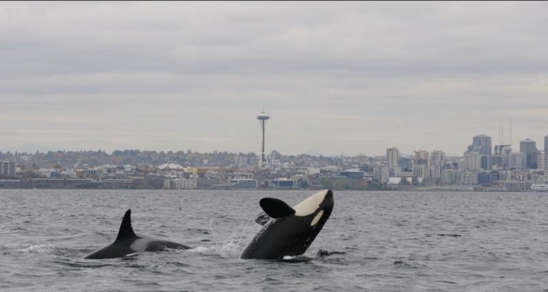 killer-whales-puget-sound-waterfront-nwfsc.jpg