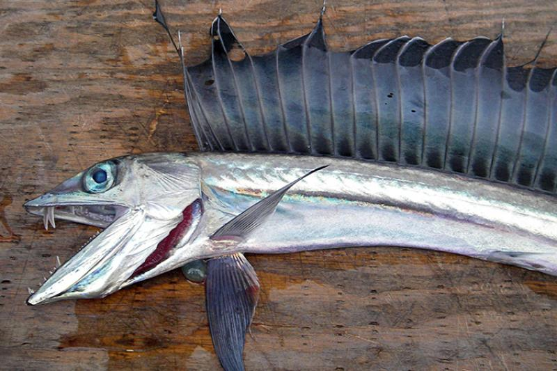 Lancetfish-UnlockingTheSecretsOfTheDeep.jpg