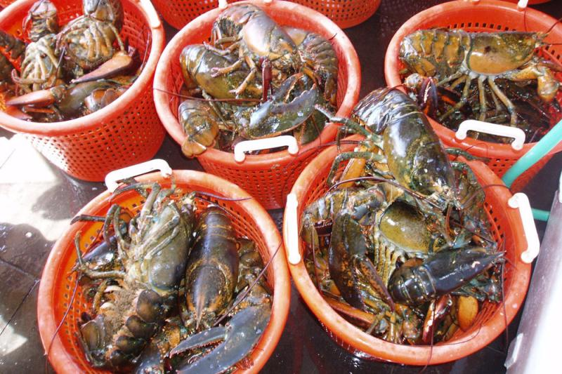 Orange buckets filled with different sizes of lobster.