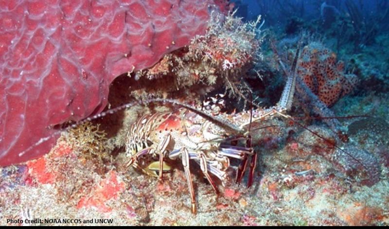 lobster-Carib-PARGU-SERO.png