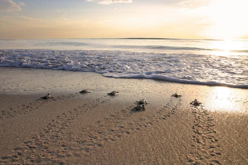 loggerhead-hatchlings-sunrise.jpg