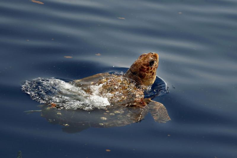 loggerhead in gulf of mexico deepwater horizon 1311 x 874 NOAA Fisheries.jpg