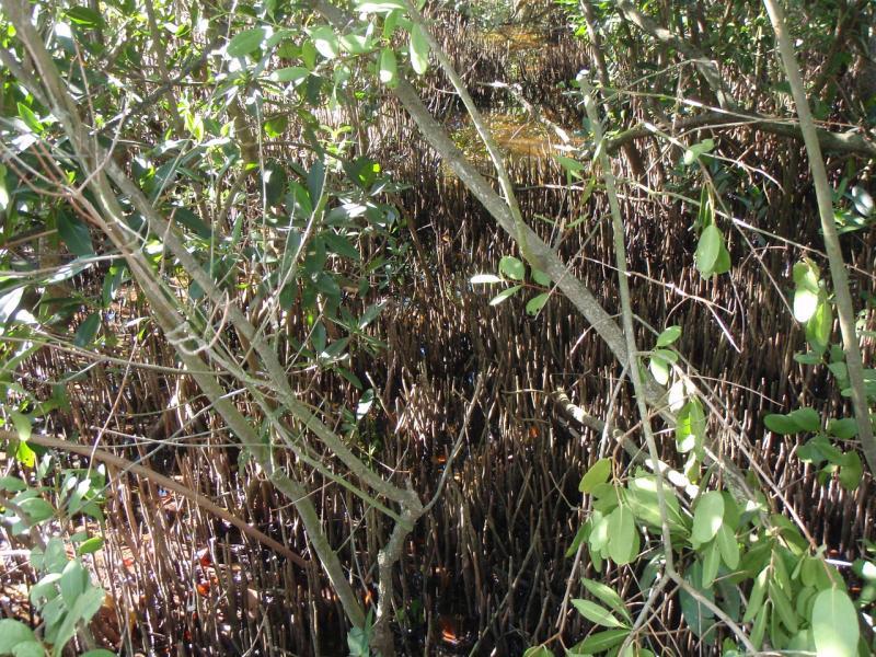 Mangroves Photo 2 BlkPneumatophores.jpg