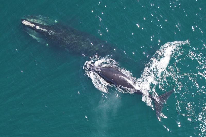 mother-calf-right-whales.jpg