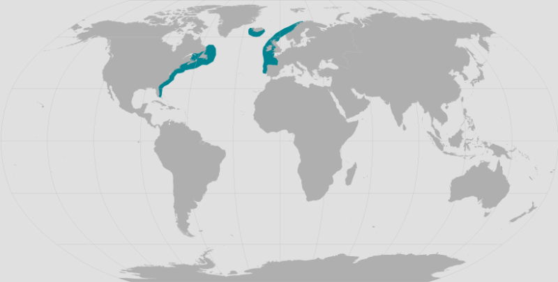 North Atlantic Right Whale.png