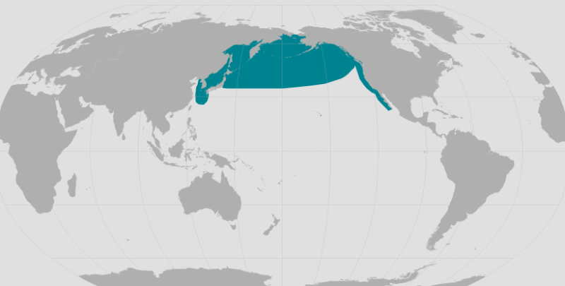 North Pacific Right Whale.png