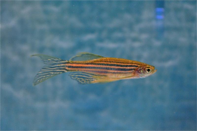 nwfsc-feature-new-biomarker-zebrafish.jpg