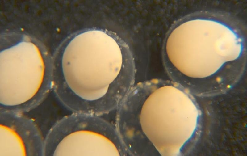 nwfsc-feature-pacific-lamprey-eggs.jpg