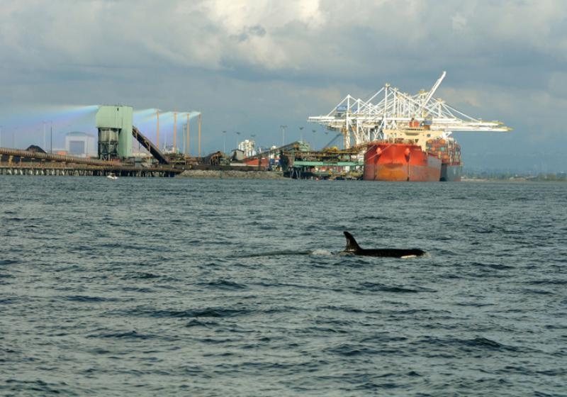 nwfsc-feature-toxic-killer-whale.jpg