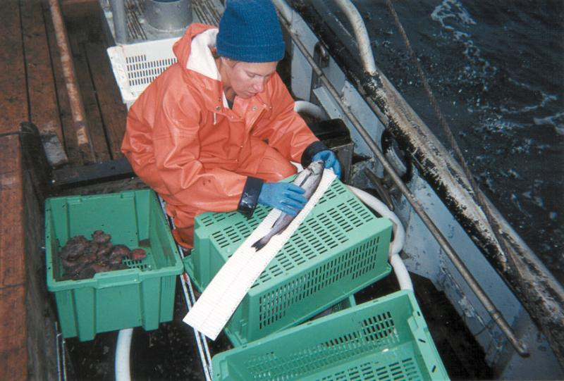 Observer measuring fish length on deck.jpg