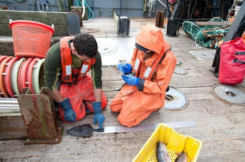 Observer in foul weather gear measuring fish on deck.