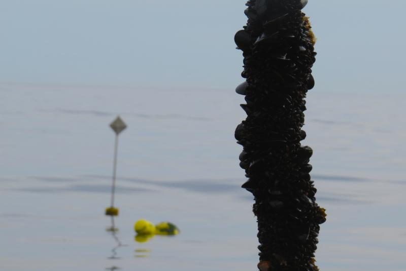 String of mussels being pulled from the water
