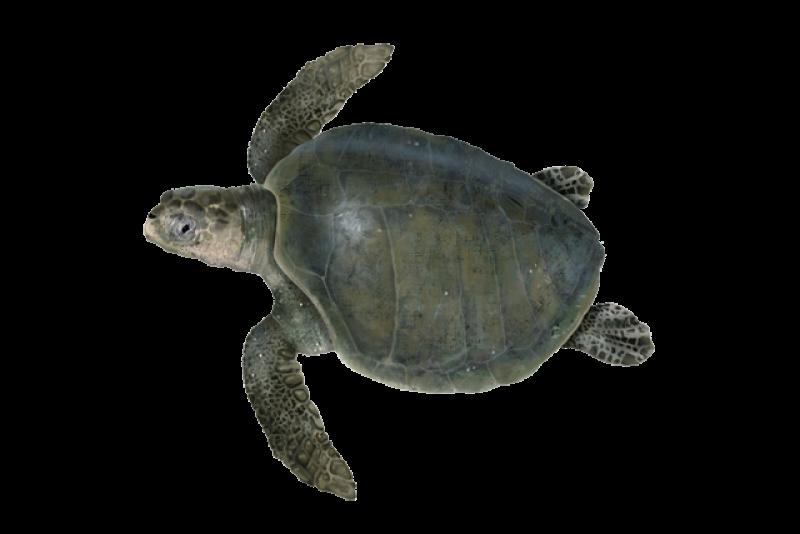 Olive ridley sea turtle illustration.