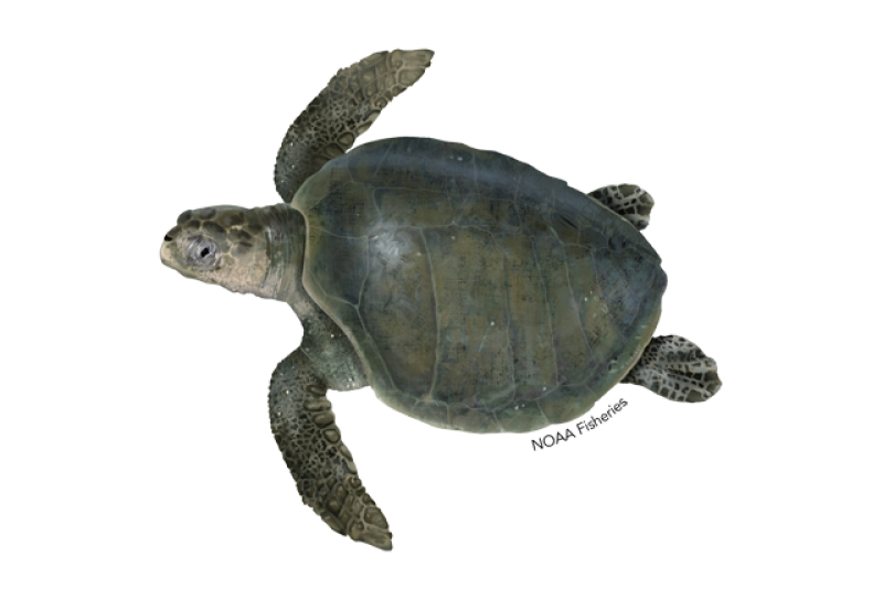 Olive ridley sea turtle illustration.