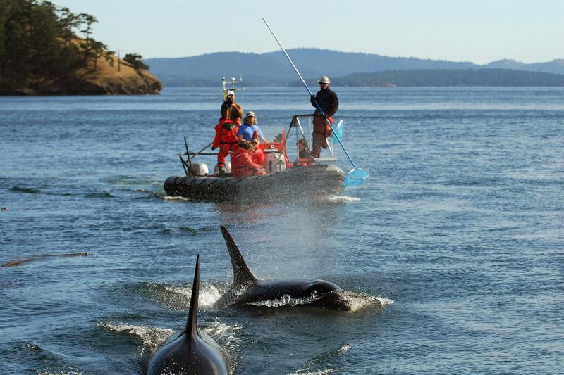 orca-fecal-sampling.jpg