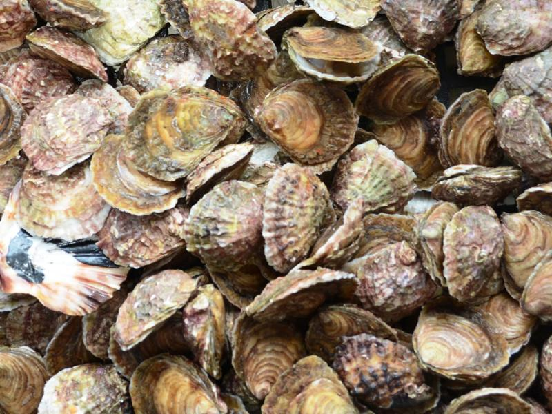 Collection of oysters, various sizes and colors.