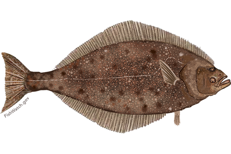 pacific_halibut.png