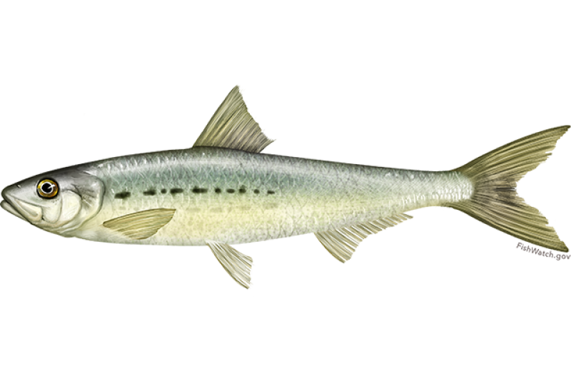 pacific_sardine.png
