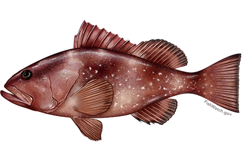 red_grouper.png