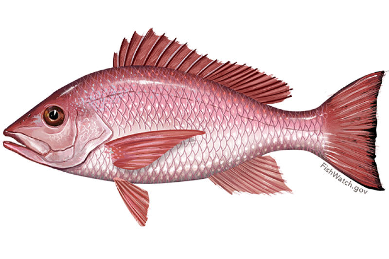 red_snapper.png