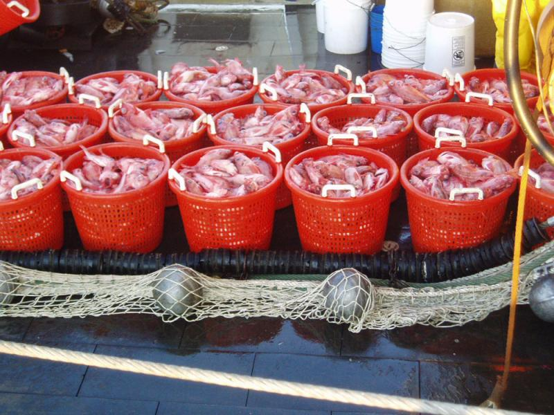 18 buckets of redfish on deck with net in front.