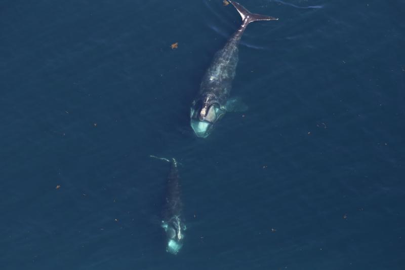 right-whale-26.jpg