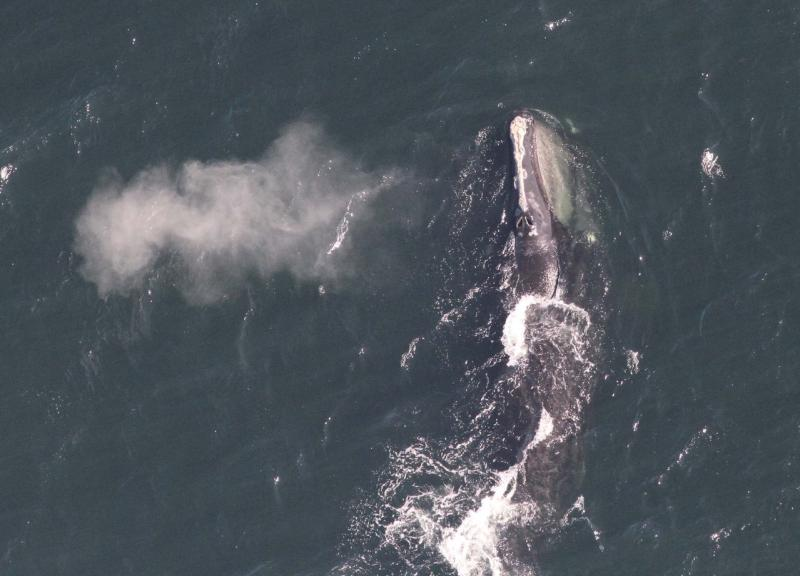 Right whale near surface, the vapors from the blow are on the left of whale.