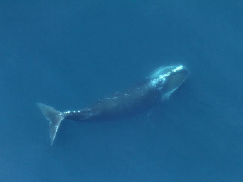Right whale feeding