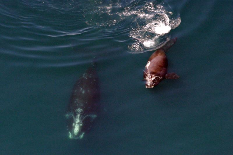 right-whale-mom-calf-egno_2.jpg