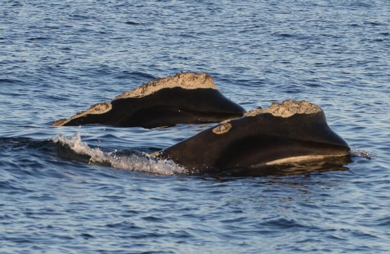 Two right whales swimming side by side.