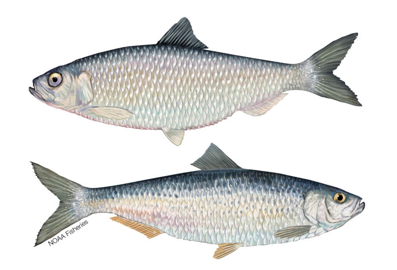 River_Herring_NB_W.png