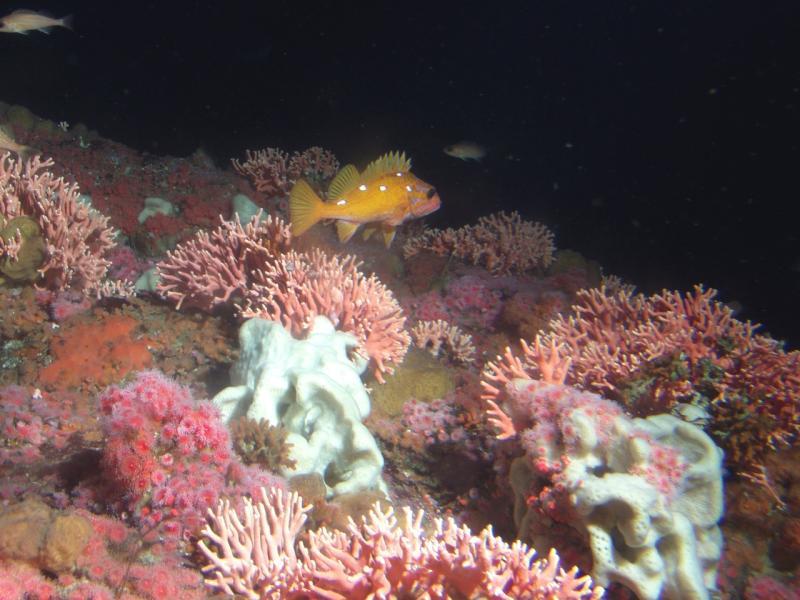 rosy rockfish among california hydrocoral_NOAA.jpg
