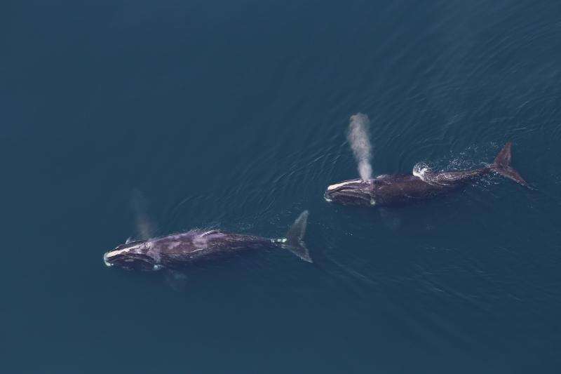 Two North Atlantic right whales from above, exhaling.