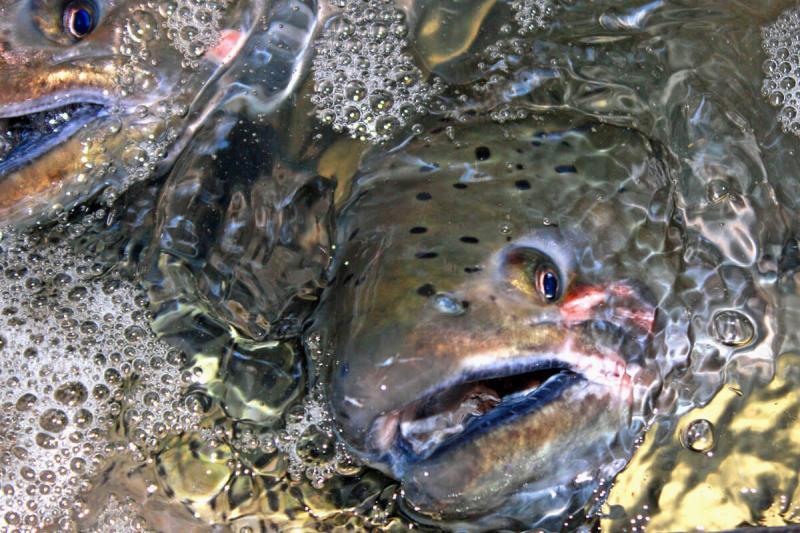 salmon-underwater.jpg