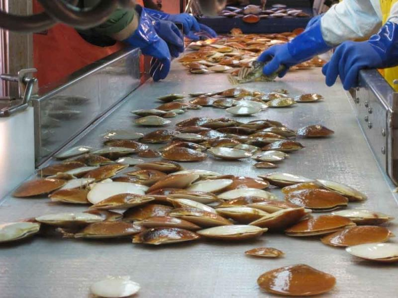 scallops-on-conveyor.jpg