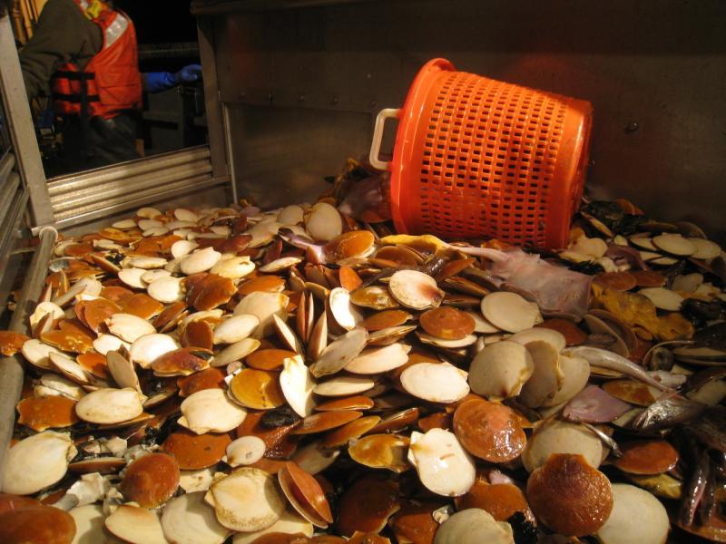 Orange basket on side next to a pile of sea scallops.