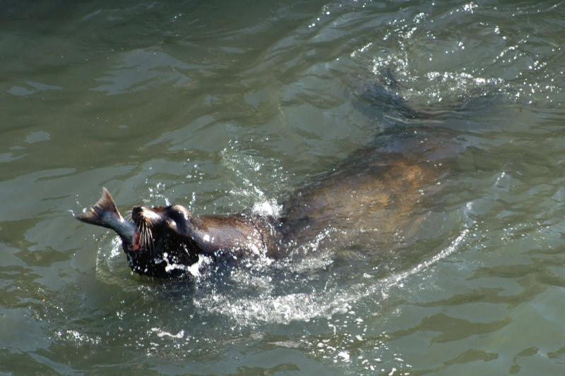 sea-lion-eating-salmon-2.jpg