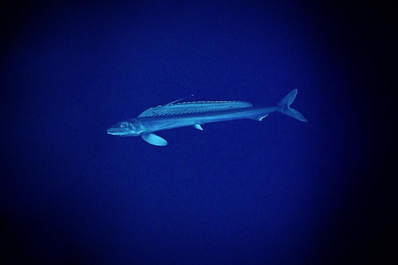 SeaMonsterLancetFish.jpg