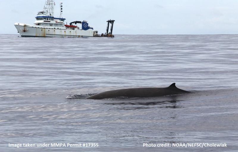 Sharp beaked whale with research vessell in the background.