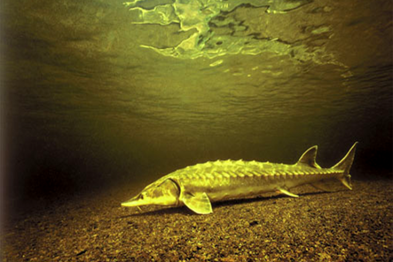 shortnose underwater_newsimage.png