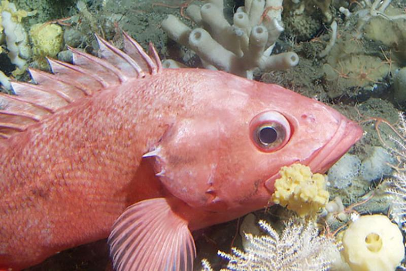 shortraker-rockfish.jpg