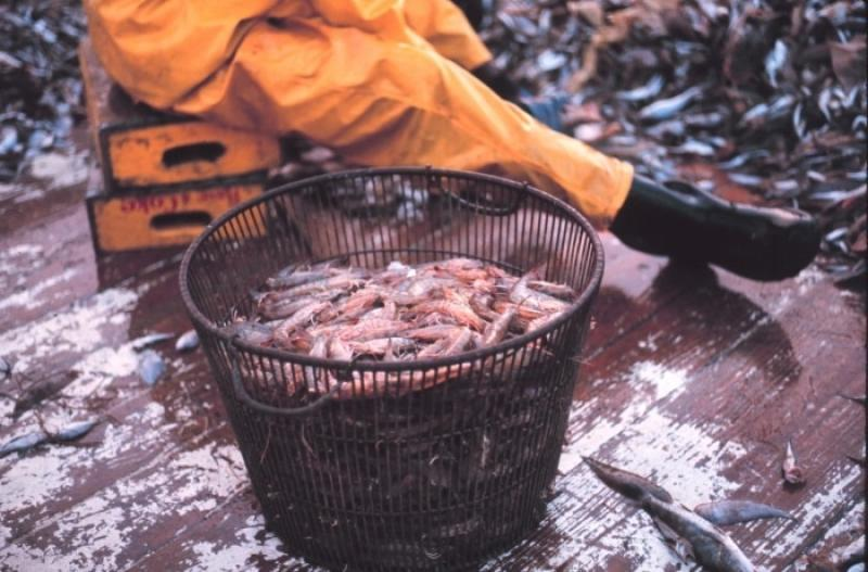 shrimp-catch-NOAA-SERO.jpg