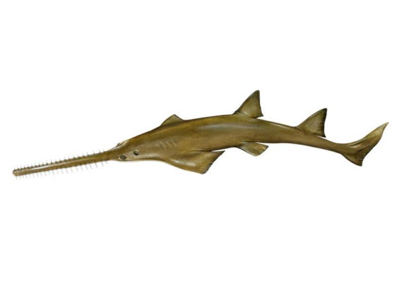 smalltoorth_sawfish_illustration.jpg